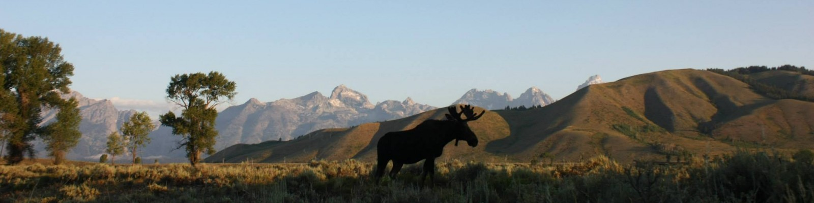 Moose near the Gros Ventre River, Grand Tetons in the background.  Photo credit Albert Li (student IFP 2013).